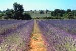 Lavendel veld in la Garde, Aquitanië