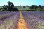 Lavender field in Gard, France
