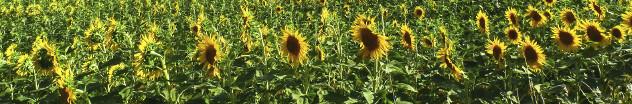 Landschap met zonnebloemen in Frankrijk