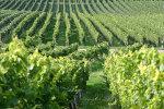 Wijngaard in Frankrijk. Regio Bourgondie