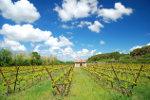 Wijnbouw in de Elzas