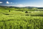 Landschap Italie met tarwe