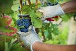 De oogst van rode druiven