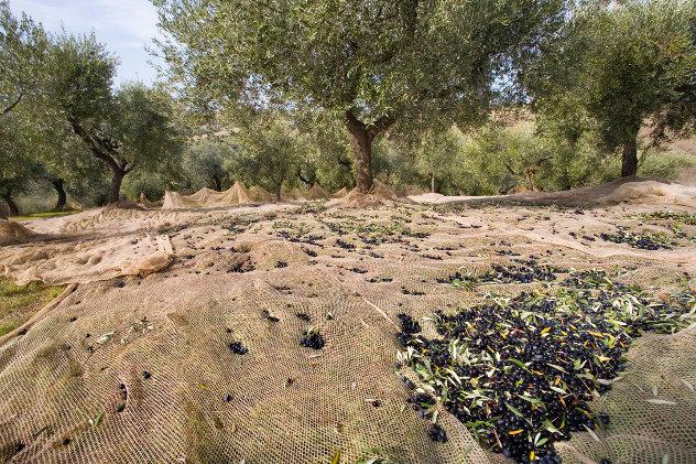 Olijvenoogst op het Spaanse  platteland