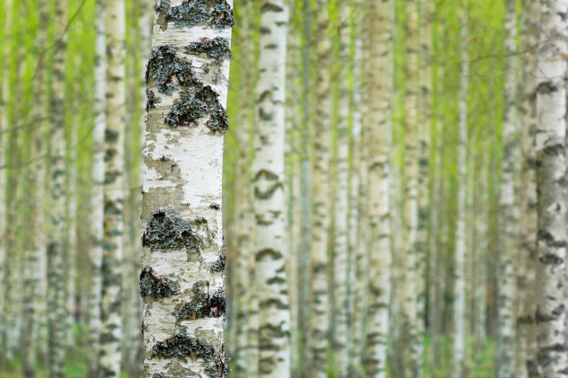Berkenbomen in de lente