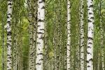 Een berkenbos in Zweden